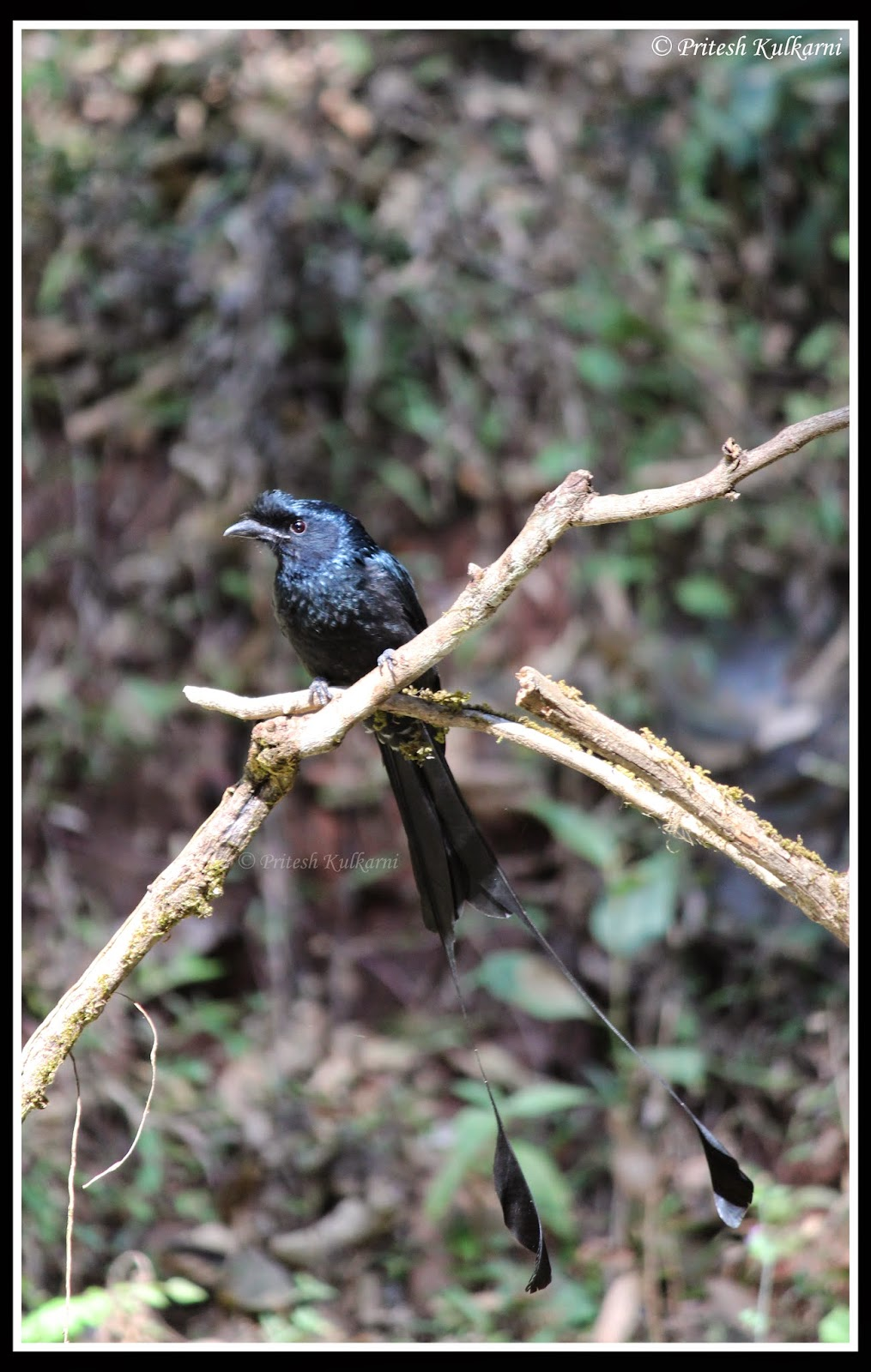 Greater racket-tailed drongo at Old Magazine House