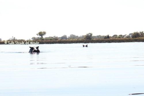 ippopotami okawango botswana