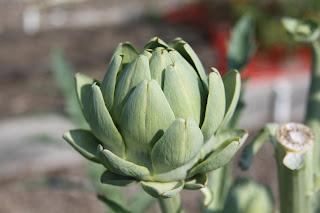 Growing artichokes