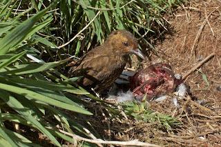 Tristan Thrush eating a dead bird. Photo by Brian Gatwicke