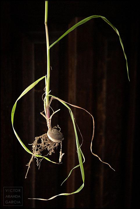 Fotografía de una planta silvestre cuyo tallo y raíces salen de un caracol