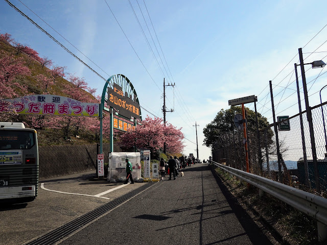松田町 西平畑公園 河津桜