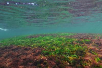 Vedenpinnan lähellä oleva vedenalainen kallio, jossa kasvaa viher- ja punalevää