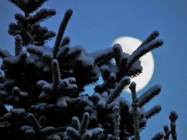 kuu, kuusi, lumi. talvi