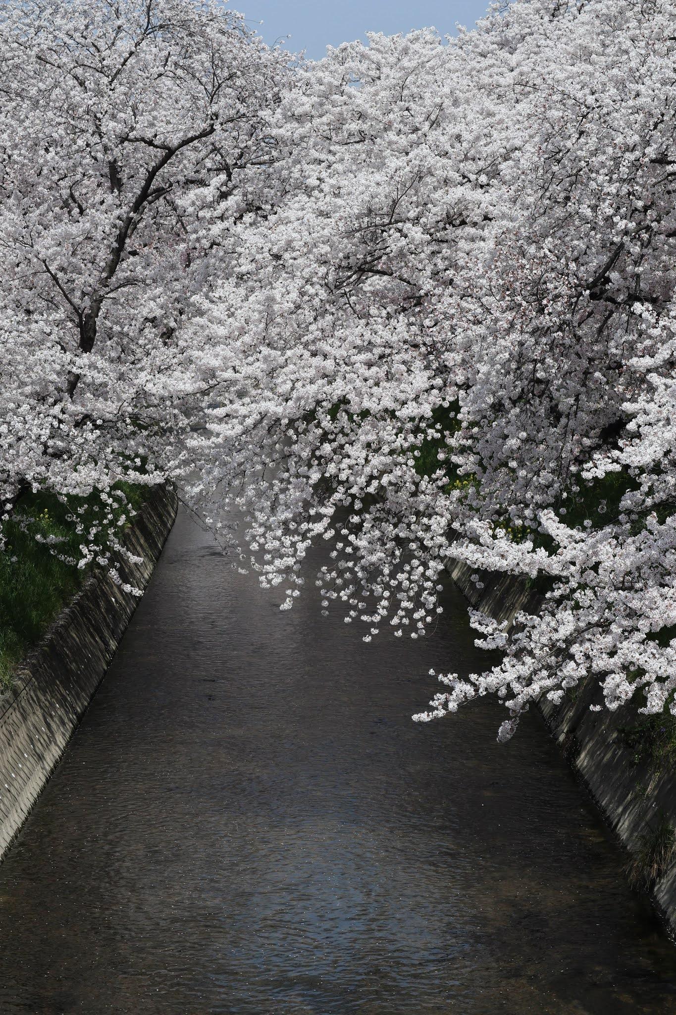 岩倉桜まつり10