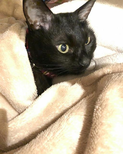 Gambar foto kucing hitam selimut lucu