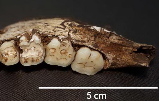 Laporan Penelitian Homo naledi Makan Umbi-umbian Berpasir