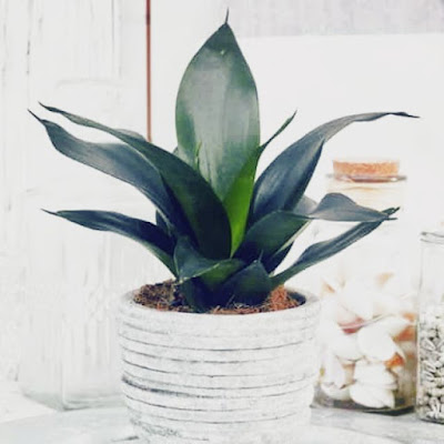 Sansevieria Black Dragon