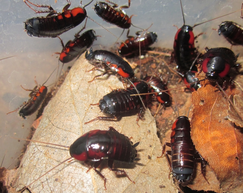 Hisserdude's Roaches - Page 2 AfricanBullet%25235