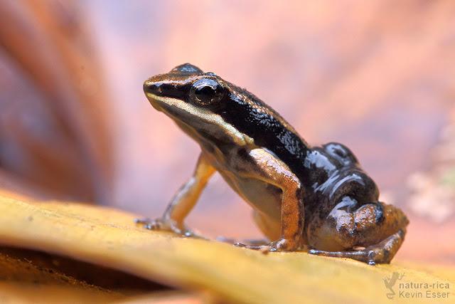 Allobates talamancae - Talamanca Rocket Frog