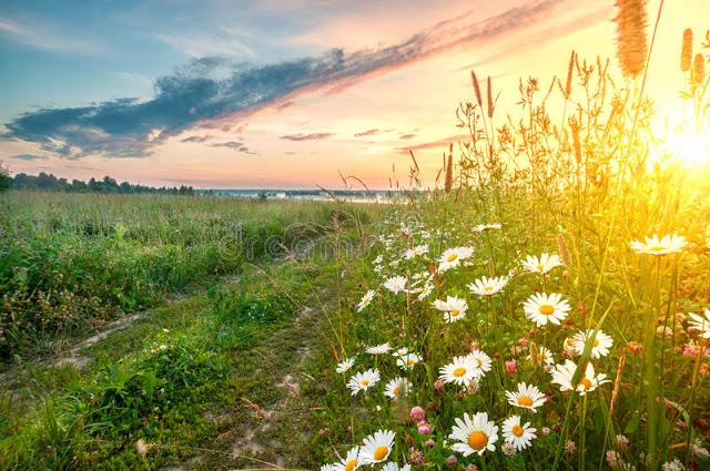 Amanhecer no Campo de flores de Margaridas
