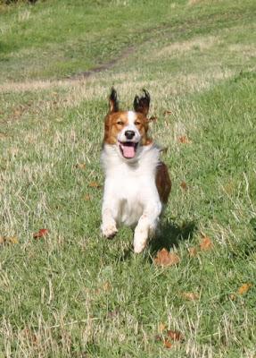 Agilityä harrastavan koiran fyyseiset vaatimukset ja lihashuolto -luento