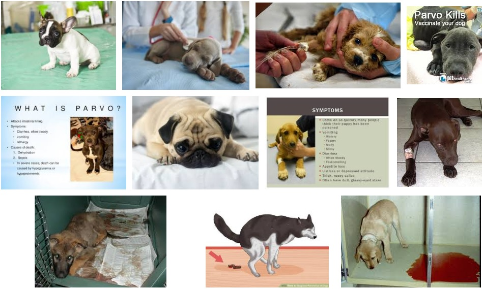 Hãy bảo vệ chó mèo yêu của bạn bởi 2 căn bệnh quái ác này