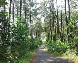 Hutan Pinus Benes Purworejo
