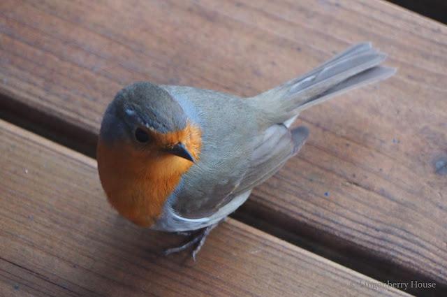 lingonberryhouse, lintuviikko, punarinta, birds, robin, lintu