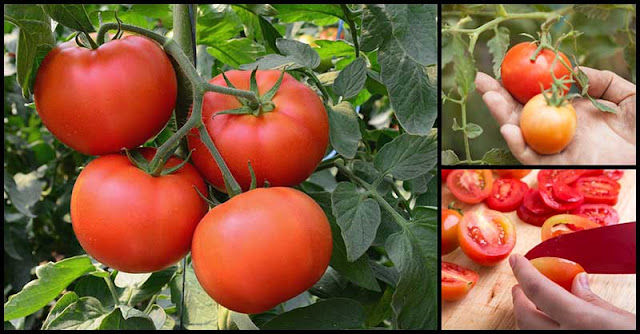 More Tomatoes For Heart Health