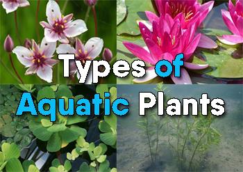 Types of aquatic plants