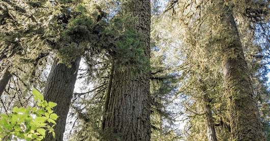 Olympic National Forest---Know Your Trees