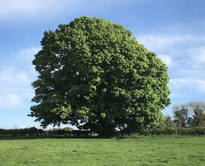 Photo of a large chestnut tree in full leaf