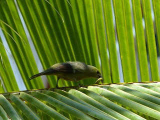 Tangara des palmiers - Thraupis palmarum