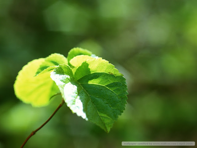 Green leave Wallpapers