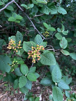 [Adoxacease] Viburnum lantana – Wayfaring Tree (Viburno lantana)