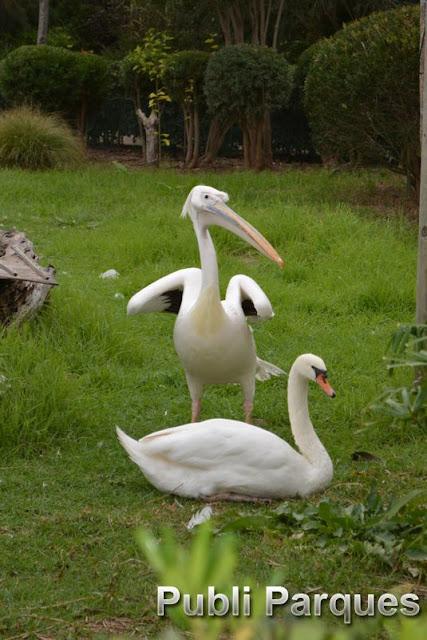 Cisne y pelicano
