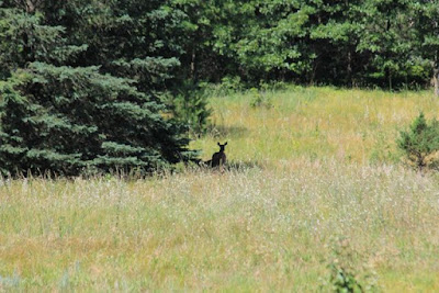whitetail deer in Summer meadow, part of her home range