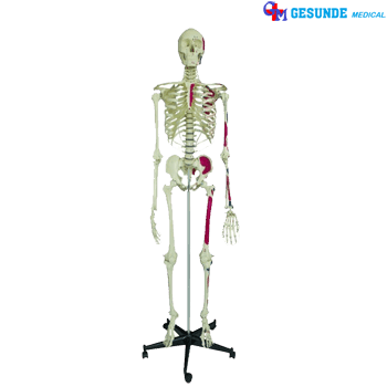 Patung Rangka Tulang  Tengkorak Seluruh Badan  Toko