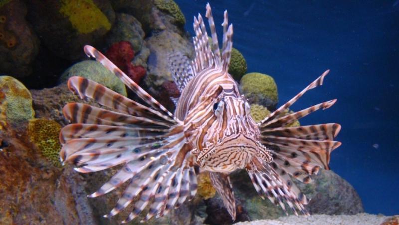Dibalik Racun Duri Lionfish, Mahasiswa UI Temukan Jadi Obat Kanker