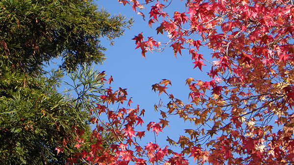 Japanese Maple Leaves with Redwood in background