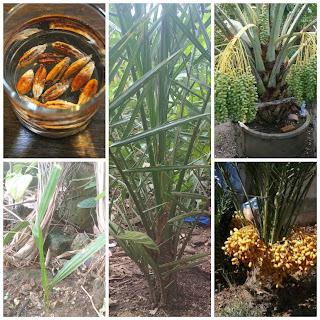 Cara menanam tanaman kurma di Indonesia
