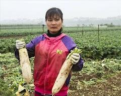 Hà Nội họp bàn 'giải cứu' khoảng 3.000 tấn củ cải ế