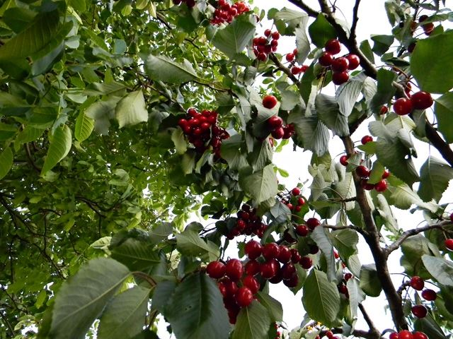 słodkie owoce, sad, drzewo owocowe, czerwone