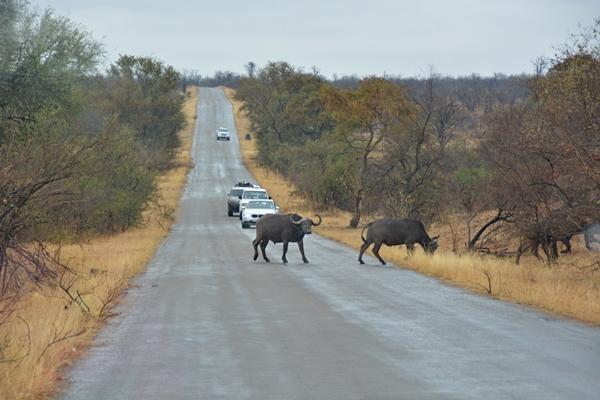 büffel schaut in Auto während er die Straße überquert