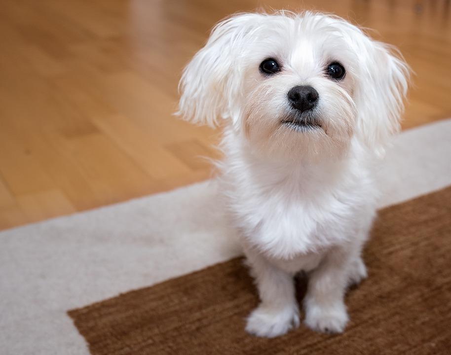 Profil Anjing Maltese Watak Dan Cara Merawatnya