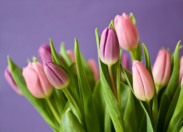 pink tulip-flower image
