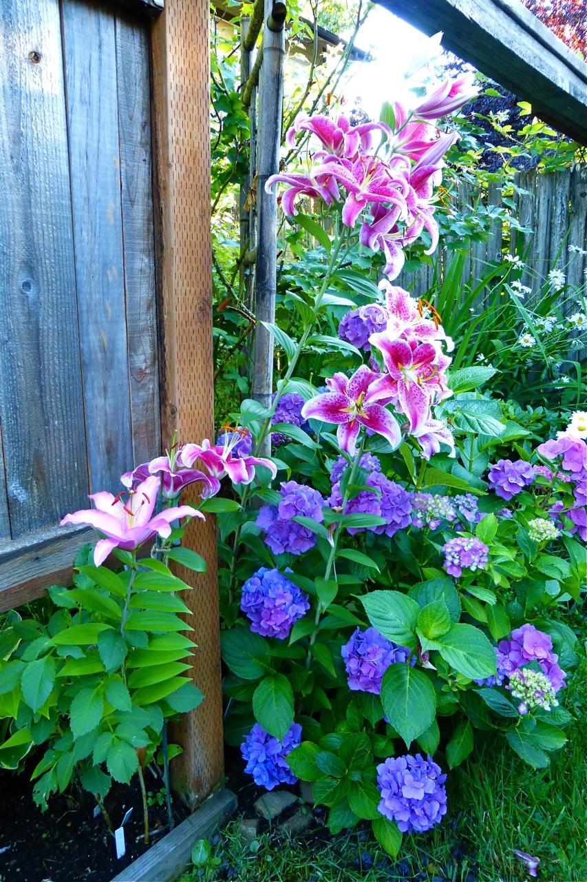 lily, hydrangea, perennial, summer garden