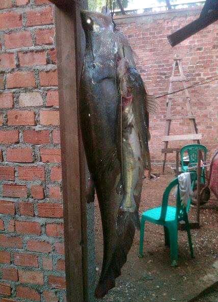 Pakai Umpan Anak Sepat Untuk Mancing Ikan Belida (belido) Besar