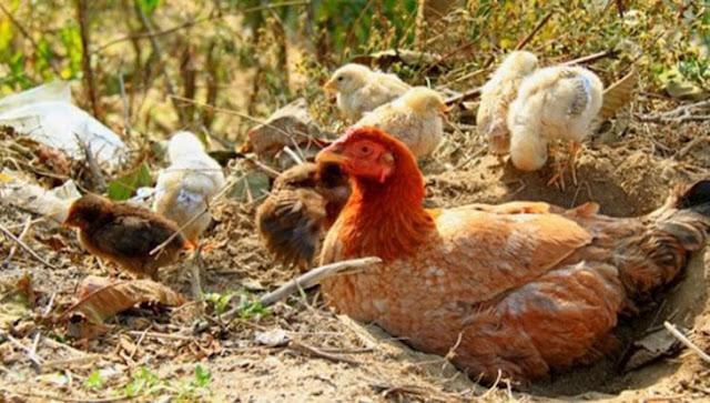 Fred Luvale kills himself over hen