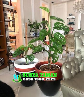 Jual pohon Rambat Janda Bolong - tukang rumput bogor