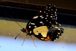tattered butterfly