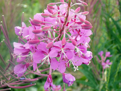 Close – Up of the Fireweed