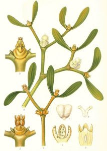 The ancient Greeks and Romans also heard for the mistletoe - thay have used it as a medicine for epilepsy, dizziness and nervous disease.