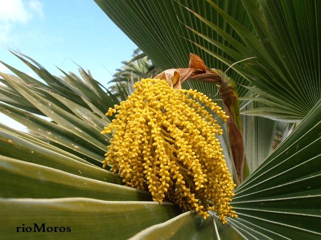 Inflorescencia de PALMERA DE FIYI Pritchardia thurstonii