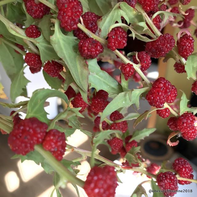 alte, vergessene Gemüsesorten Erdbeerspinat