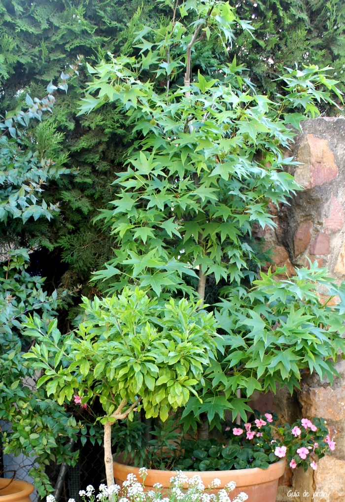Liquidambar guia de jardin for Arboles de jardin de hoja caduca