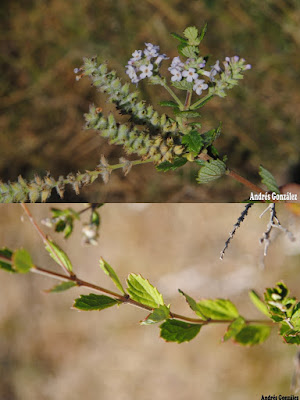 Cedrón del monte (Aloysia chamaedryfolia)