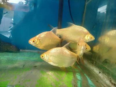 Ikan Kaviat Albino