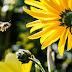 Πώς οι μέλισσες βρίσκουν το δρόμο για να γυρίσουν στην κυψέλη τους. Γιατί τα φυτοφάρμακα τις αποπροσανατολίζουν